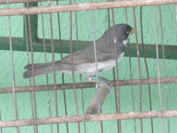 Denúncia informou que os pássaros eram mantidos em cativeiro em casa em Umuarama (Foto: Divulgação/Polícia Militar Ambiental)