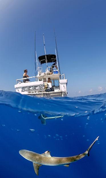 tubarão-das-Galápagos (Foto: Divulgação/Daniel Botelho)
