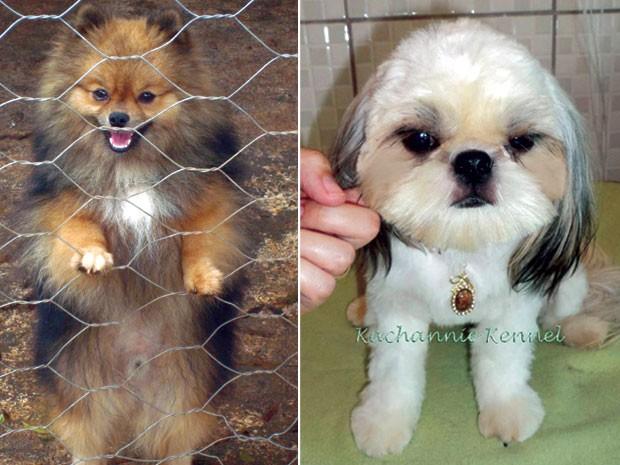 Cães de exposição furtados em Paulínia (SP) (Foto: Arquivo pessoal/Jennifer Chinke )