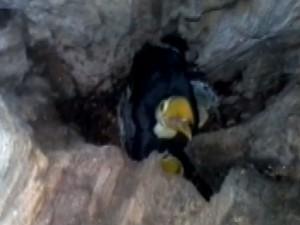 Ninho com três filhotes de tucano foi encontrado na Fazenda Lagoa Famosa (Foto: Edvaldo Gonçalves/Arquivo Pessoal)