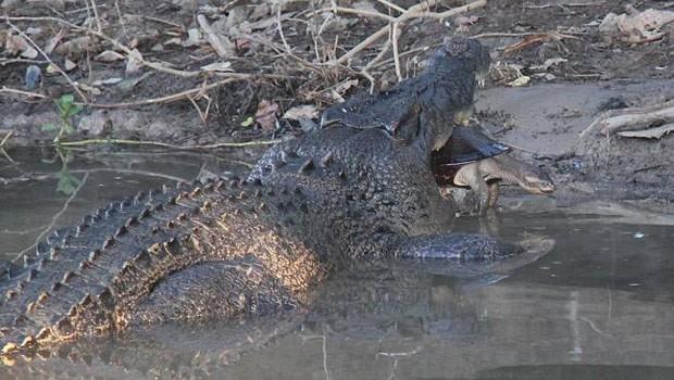 Australiano flagrou tartaruga escapando da poderosa mandíbula de enorme crocodilo (Foto: Reprodução/Facebook/Northern Territory Parks and Wildlife)