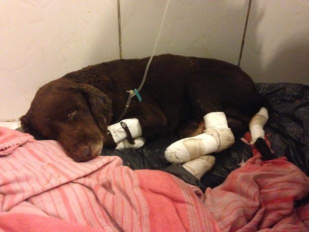 Cão queimado vivo passa por cuidados em clínica veterinária de Santa Maria (Foto: Tiago Guedes/RBS TV)