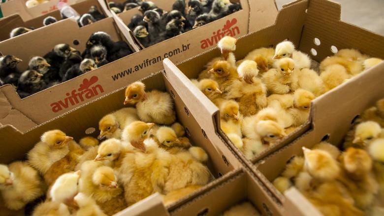 aves_pinto_pintinho_avicultura (Foto: Silvia Zamboni/Ed. Globo)