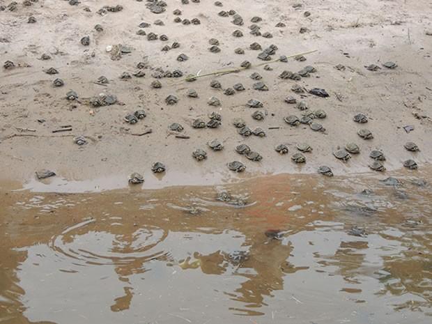 4.100 filhotes foram devolvidos à natureza (Fot Udirley Andrade/Ascom  Prefeitura de Juruti)