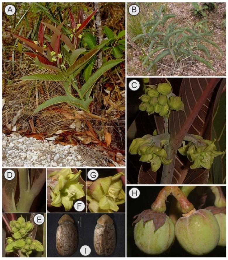 agricultura-mandioca-manihot-robusta (Foto: Reprodução)