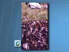 Agricultor faz vídeo de ratos mortos que estavam destruindo plantações
