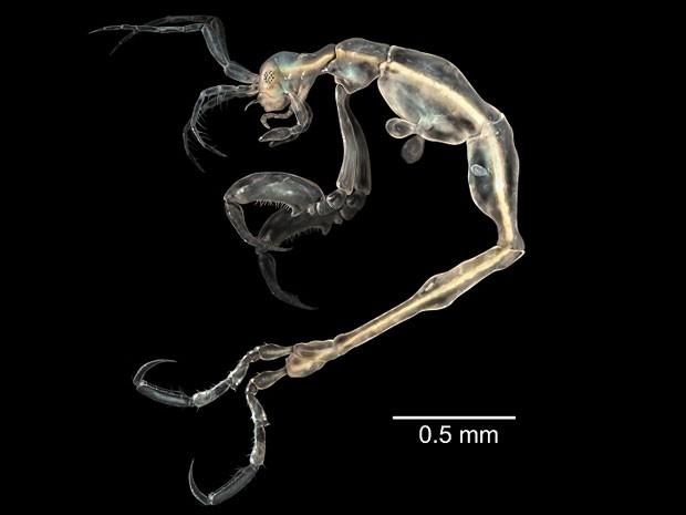Translúcido, esse novo camarão (Liropus minusculus) é o menor de seu gênero e vive nas águas da ensolarada Califórnia.  (Foto: Sinc/J Guerra Garcia/BBC)
