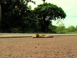 ITTI vai monitorar atropelamento de animais na BR-262, entre Anastácio e Corumbá, em MS (Fot Reprodução/TV Morena)