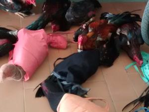 Aves resgatadas em rinha de briga, em Buíque, Agreste de Pernambuco (Foto: Divulgação/ Polícia Militar)