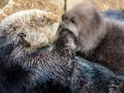 Nascimento de lontra surpreende funcionários de aquário na Califórnia