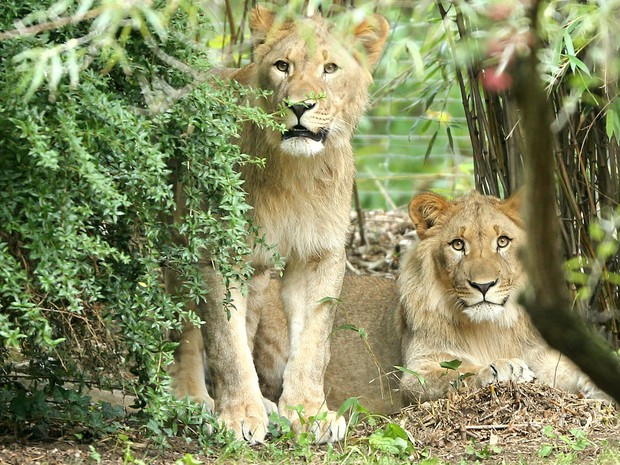 Foto de aquivo mostra leões Motshegetsi (esq.) e Majo (dir.) no zoológico de Leizig  (Foto: Jan Woitas/dpa via AP)