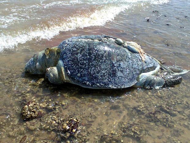 Tartaruga foi encontrada deteriorada na praia do Cabo Branco, em João Pessoa (Foto: Diego Lima/Arquivo Pessoal)