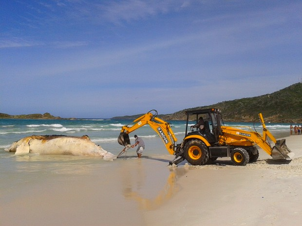Baleia é retirada de praia de Arraial do Cabo (Foto: Willian Corrêa / Inter TV)