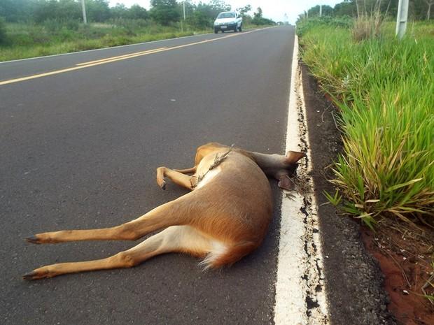 Veado mateiro está entre as espécies nativas atropeladas; último caso foi neste mês (Fot Genildo de Oliveira/Apoena)