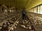 Criadores de frango comemoram a recuperação do setor em todo país