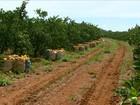 Altas temperaturas e pouca chuva prejudicam a colheita da laranja