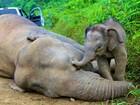 Já são 14 elefantes em risco achados mortos na Malásia, aponta governo