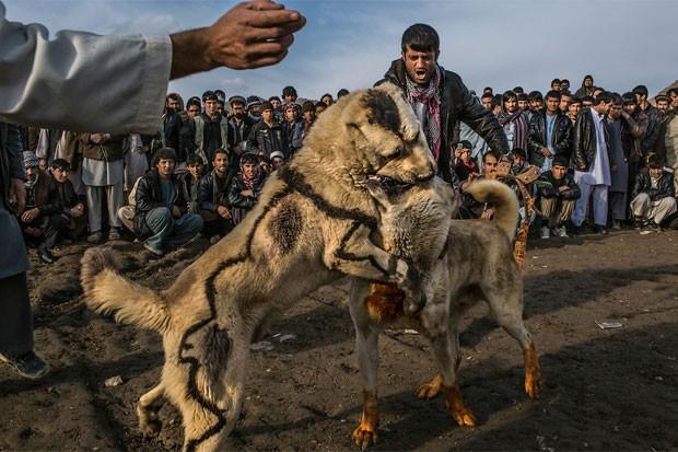 Afegãos promovem tradicional rinha de cães em Cabul. O esporte, que havia sido banido sob o governo do Talibã, voltou a ser permitido no país (Foto: Mauricio Lima/The New York Times/POY Latam 2015)