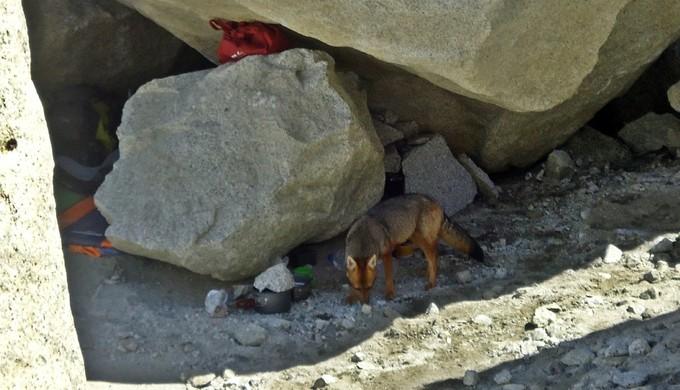 Raposa rouba comida de alpinistas, Raul Quintiliano (Foto: Arquivo pessoal / Raul Quintiliano)