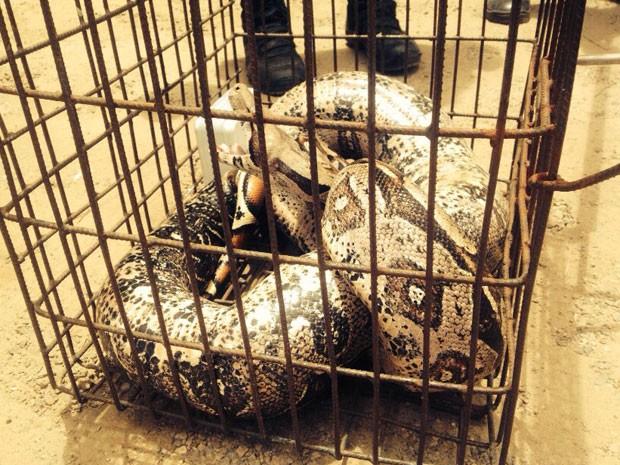Cobra foi levada para Batalhão de Polícia Ambiental, em João Pessoa (Foto: Walter Paparazzo/G1)