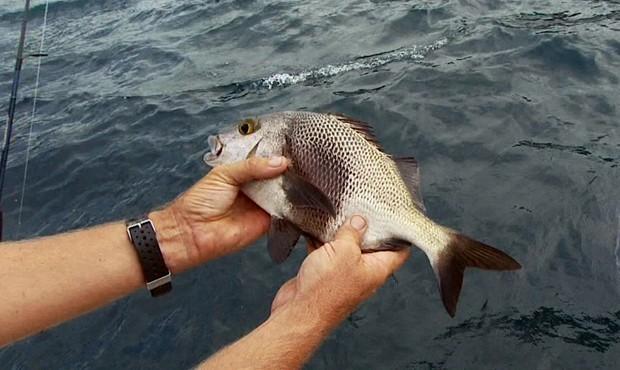 Peixe costeiro, ele vive entre um e 30 metros de profundidade sobre fundos de pedras ou corais, em costões, ilhas e parceis (Foto: Arquivo TG)
