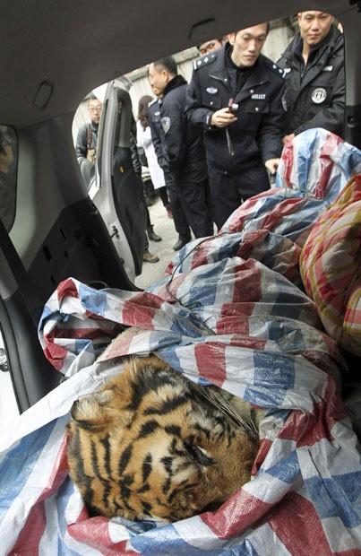 Carcaça de tigre enrolada em cobertor foi encontrada no interior de automóvel na cidade de Wenzhou. Dois homens estavam carregando corpo do animal. Um foi preso e outro conseguiu fugir (Fot Reuters/China Daily)