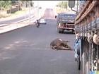 Animais soltos oferecem perigo para motoristas na Região Tocantina