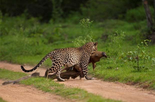 Desenhos no pelo do leopardo permitiram que programa reconhecesse o animal. (Foto: Vinay S. Kumar/Divulgação)