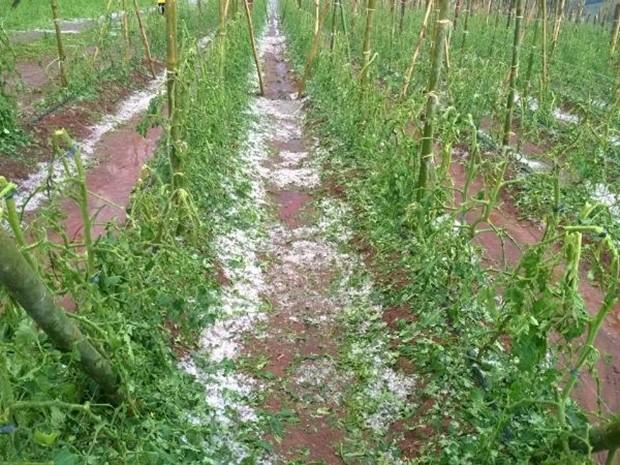 Resultado de imagem para chuva estraga uvas