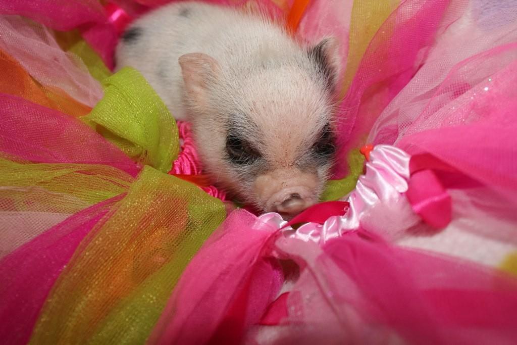 Cientistas chineses estão vendendo mini porcos geneticamente modificados