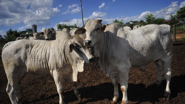 bovinos-boi-verruga-criação (Foto: Editora Globo )