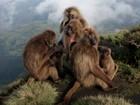 Macaca faz aborto quando novo macho domina o grupo