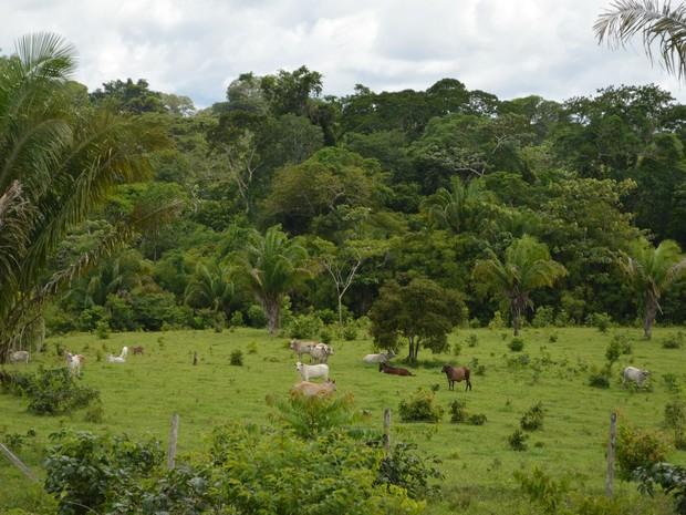 Rebanhos podem ser encontrados dentro da Reserva Chico Mendes (Foto: Yuri Marcel/G1)