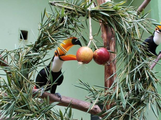 Tucanos ganharam maçãs e guirlandas (Foto: Zoo Pomerode/Divulgação)