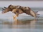 Fotógrafo flagra águia capturando um peixe em lago na Lituânia