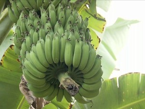Queda no preço da banana provoca demissões no Vale do Ribeira (SP) (Foto: Reprodução/Globo Rural)
