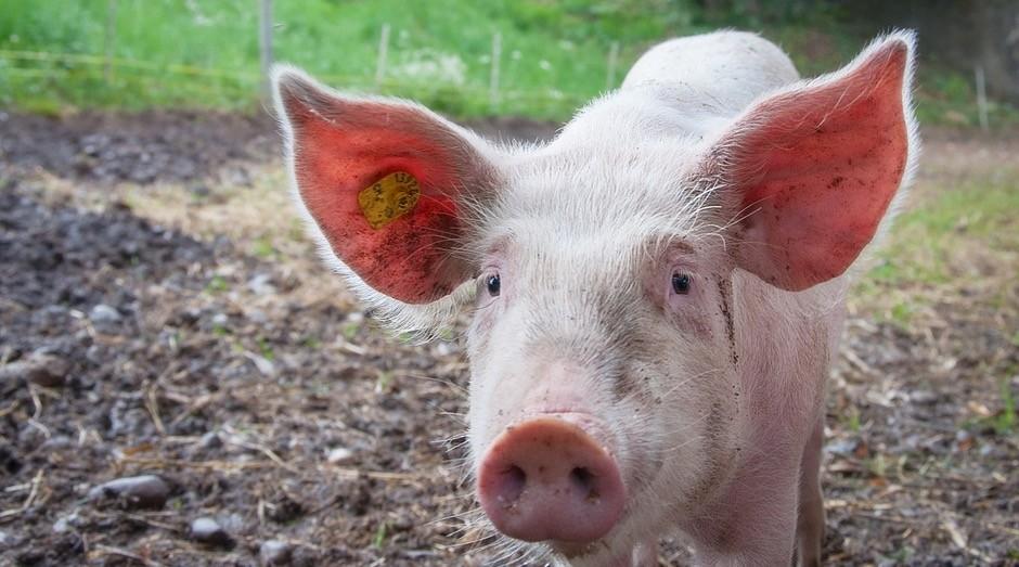 Porco, suíno (Foto: Pexels)