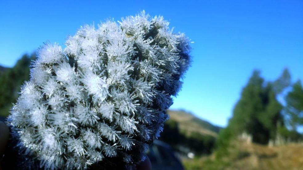 Pinho congelou com as temperaturas baixas na Serra (Foto: Mycchel Hudsonn Legnaghi/São Joaquim Online)