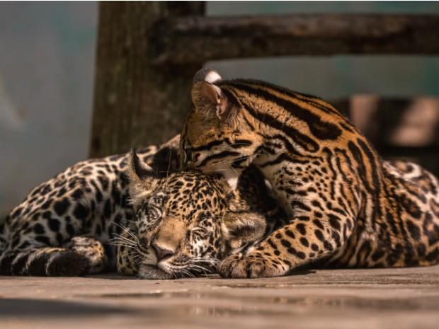 Os filhotes de onça pintada (esq.) e de jaguatirica (dir.) brincam durante o período de adaptação ao cativeiro (Foto: Alexandre Marchetti / Itaipu Binacional)