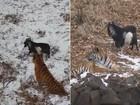 Tigre faz amizade com cabra colocada como refeição na Rússia