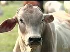Falta de boi pronto para o abate causa aumento no preço em SP