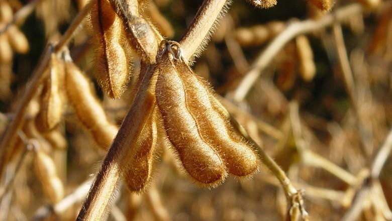 soja-grao-plantacao-colheita (Foto: Scott Robinson/CCommons)