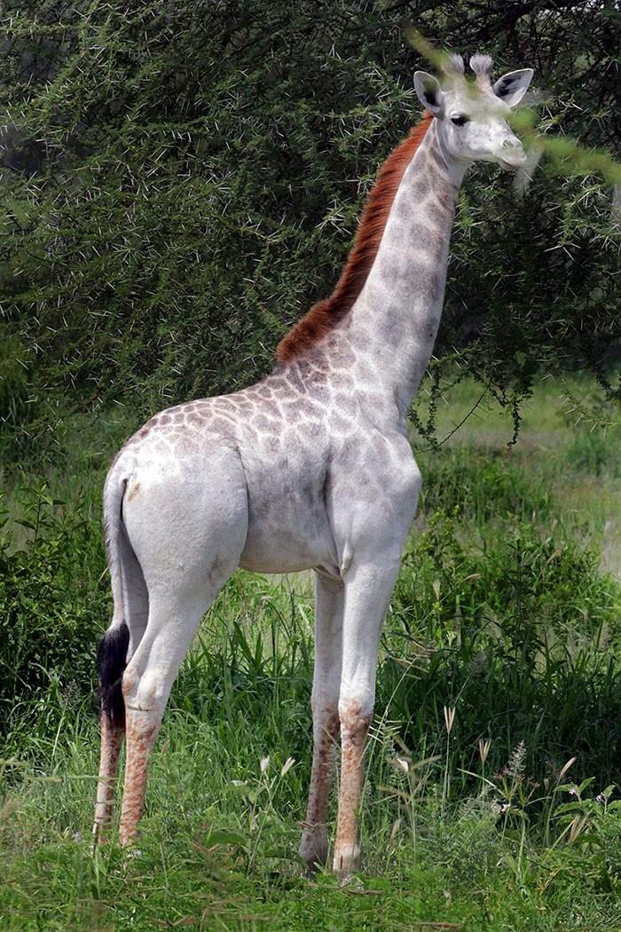 girafa (Foto: Wild Nature Institute)