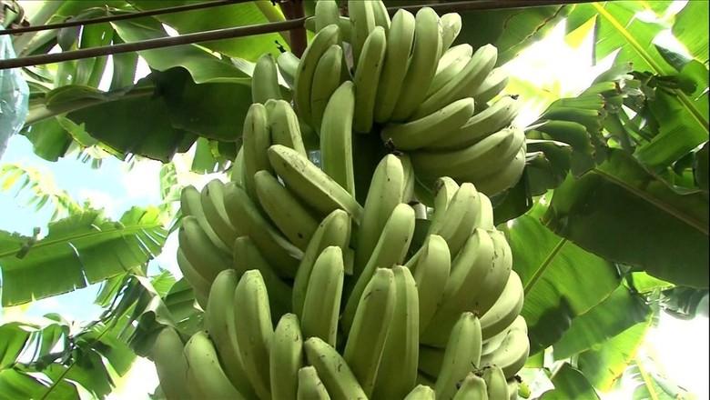 banana-bahia (Foto: Reprodução/TV Globo)