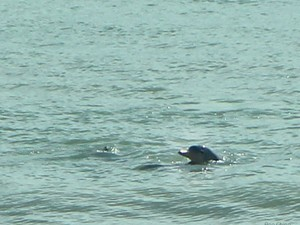 Golfinhos na praia do Madeiro, no RN (Foto: Arquivo pessoal)