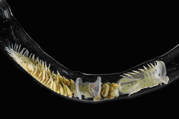 Verme marinho Chaetopterus variopedatus dentro de um tubo de vidro, dentro de um aquário com água marinha (Foto: Anderson Garbuglio de Oliveira/Unifesp/Divulgação)