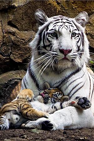Indira, tigre de bengala fêmea, deita-se com seus filhotes no Zoológico de Cali, na Colômbia. Os filhotes nasceram em 30 de novembro. (Fot Luis Robayo/AFP)