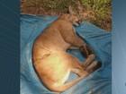 Morre onça parda que foi capturada  por quatro caçadores em Rio Claro