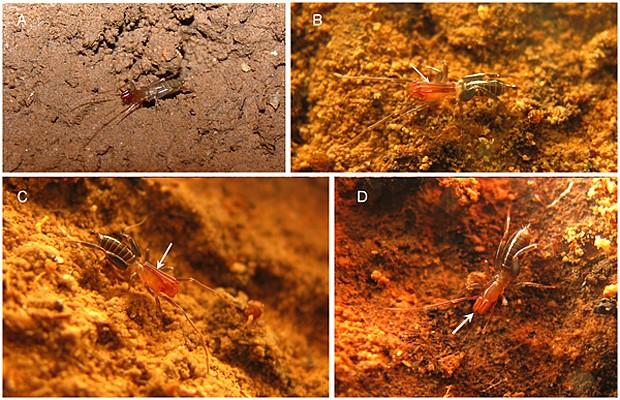 Nova espécie 'Rowlandius ubajara' descoberta no Ceará (Foto: Santos et al/Plos One)