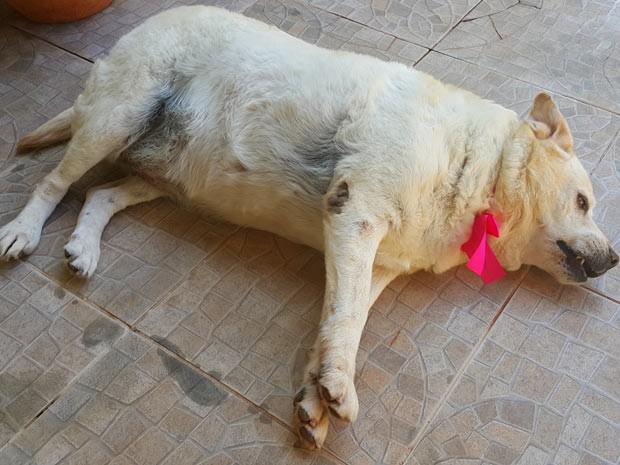 A cadela Judi, que ficou deprimida depois de se mudar de apartamento do DF para casa e ficou obesa (Foto: Raquel Morais/G1)